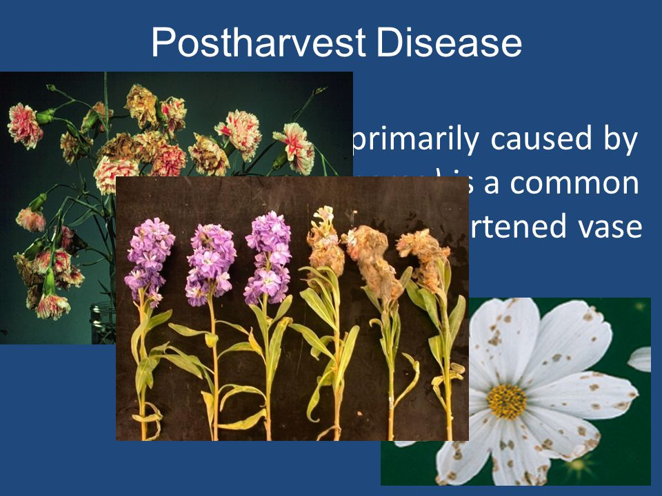 Postharvest Disease Postharvest disease (primarily caused by gray mold (Botrytis cinerea) is a common cause of poor quality and shortened vase life