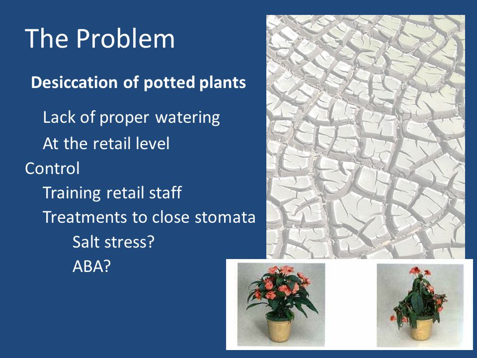 The Problem Desiccation of potted plants Lack of proper watering At the retail level Control Training retail staff Treatments to close stomata Salt stress.