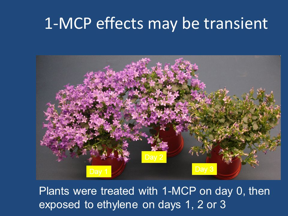 1-MCP effects may be transient Day 1 Day 2 Day 3 Plants were treated with 1-MCP on day 0, then exposed to ethylene on days 1, 2 or 3