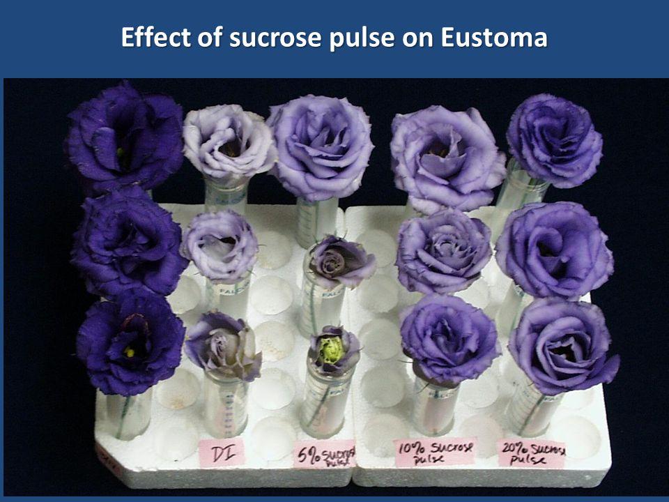 Effect of sucrose pulse on Eustoma