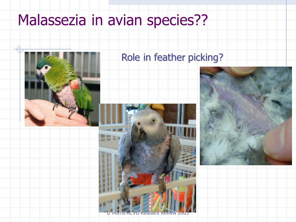 D Morris ACVD Resident Review 2003 Malassezia in avian species Role in feather picking