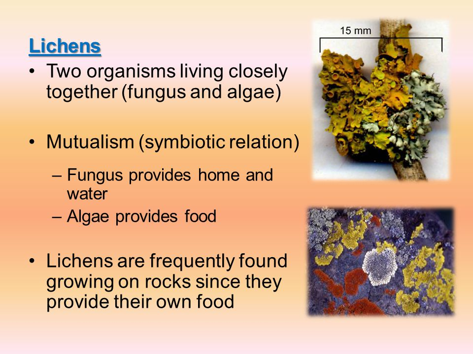 Lichens Two organisms living closely together (fungus and algae) Mutualism (symbiotic relation) –Fungus provides home and water –Algae provides food L