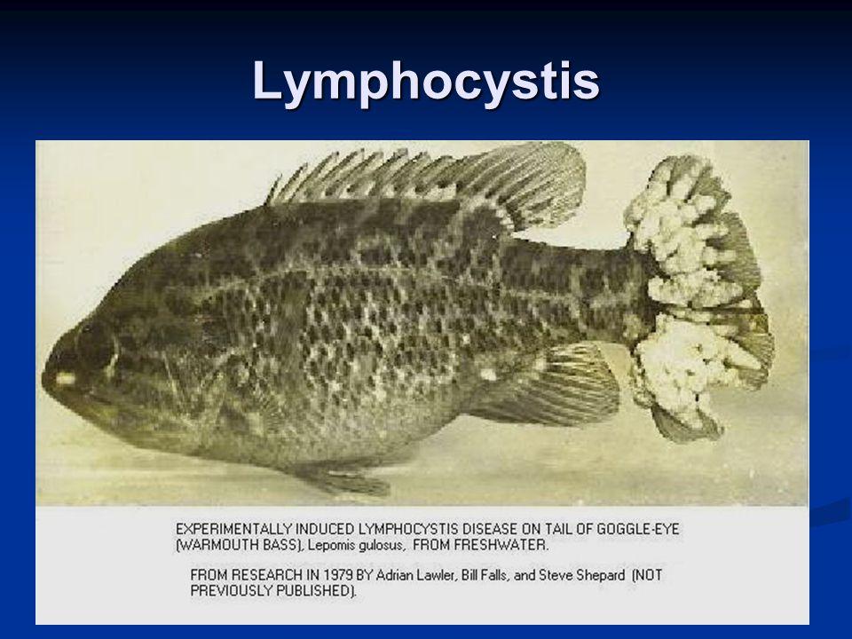Lymphocystis