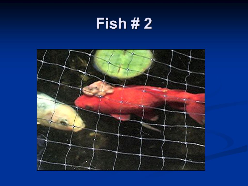 Observations Fish eat and act normal Fish eat and act normal Pond owner originally thought it was parasite related Pond owner originally thought it was parasite related Bumps are hard Bumps are hard