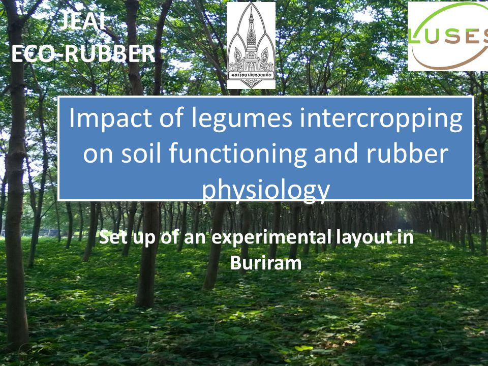 Impact of legumes intercropping on soil functioning and rubber physiology Set up of an experimental layout in Buriram JEAI ECO-RUBBER