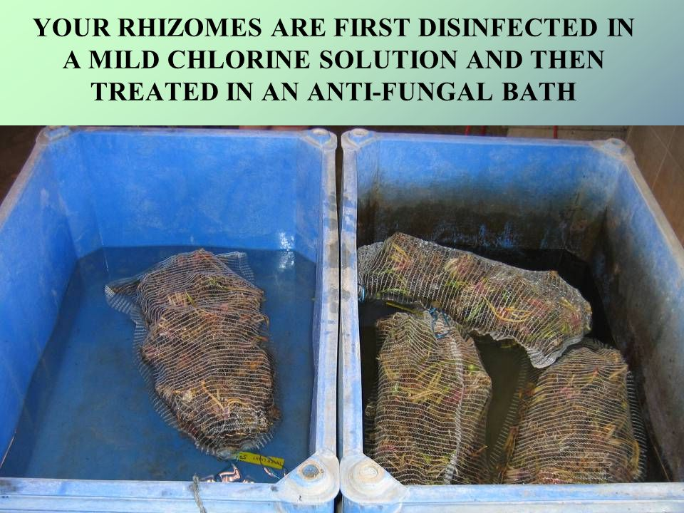 YOUR RHIZOMES ARE FIRST DISINFECTED IN A MILD CHLORINE SOLUTION AND THEN TREATED IN AN ANTI-FUNGAL BATH