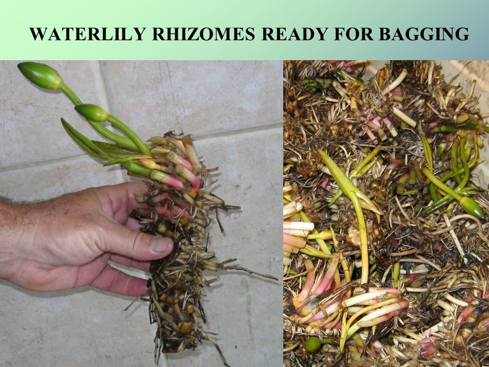 EACH OF YOUR RHIZOMES IS CHECKED BEFORE BAGGING YOUR ORDER