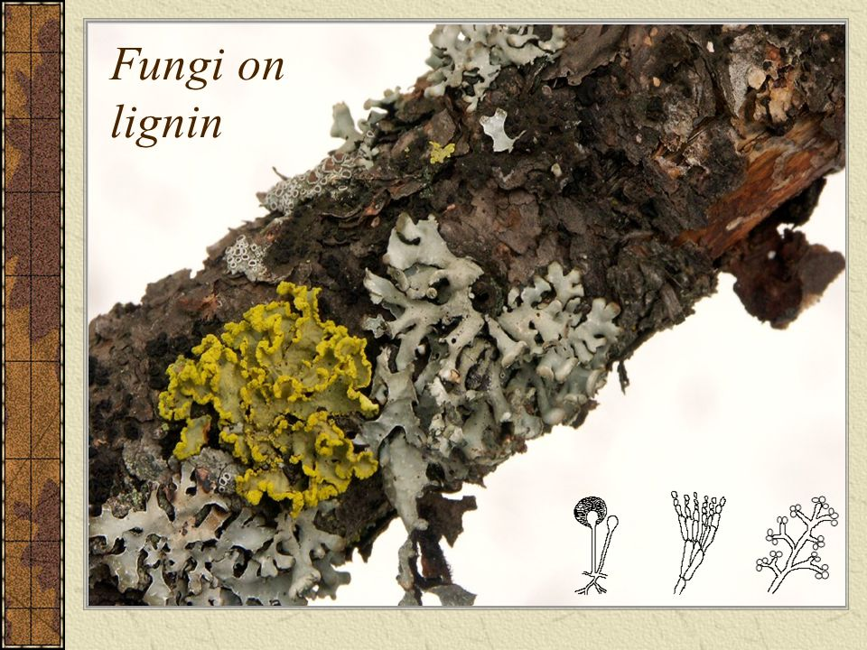 Fungi on lignin