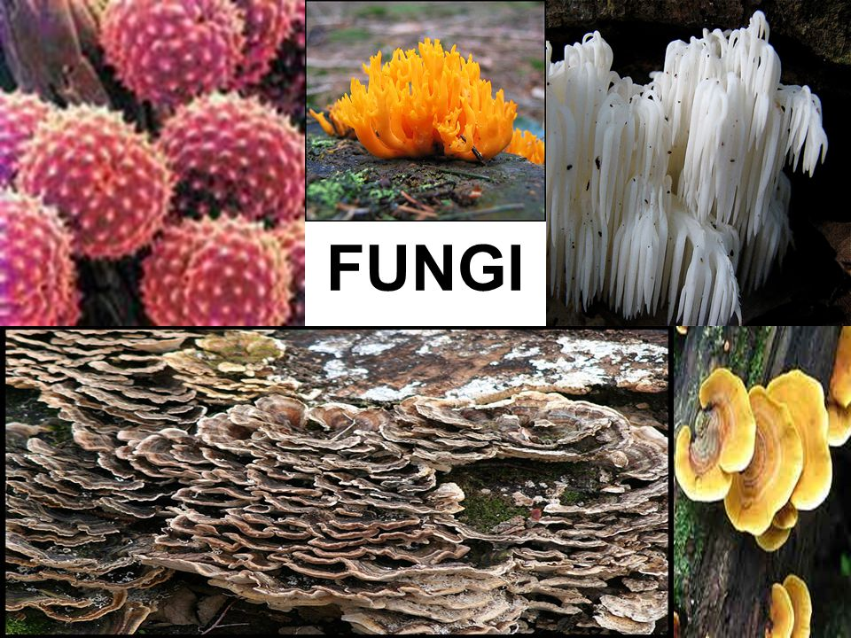 YOU MUST KNOW… THE CHARACTERISTICS OF FUNGI IMPORTANT ECOLOGICAL ROLES OF FUNGI IN MYCORRHIZAL ASSOCIATIONS, AND AS DECOMPOSERS AND PARASITIC PLANT PATHOGENS