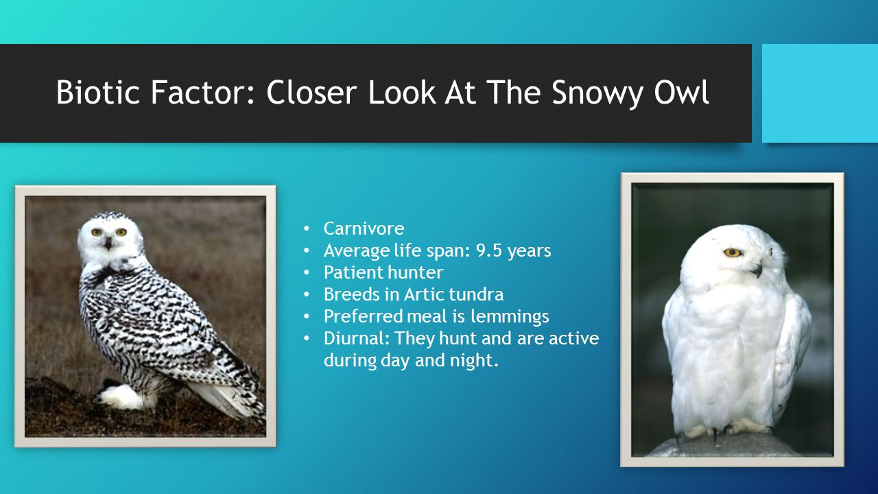Biotic Factor: Closer Look At The Snowy Owl Carnivore Average life span: 9.5 years Patient hunter Breeds in Artic tundra Preferred meal is lemmings Di