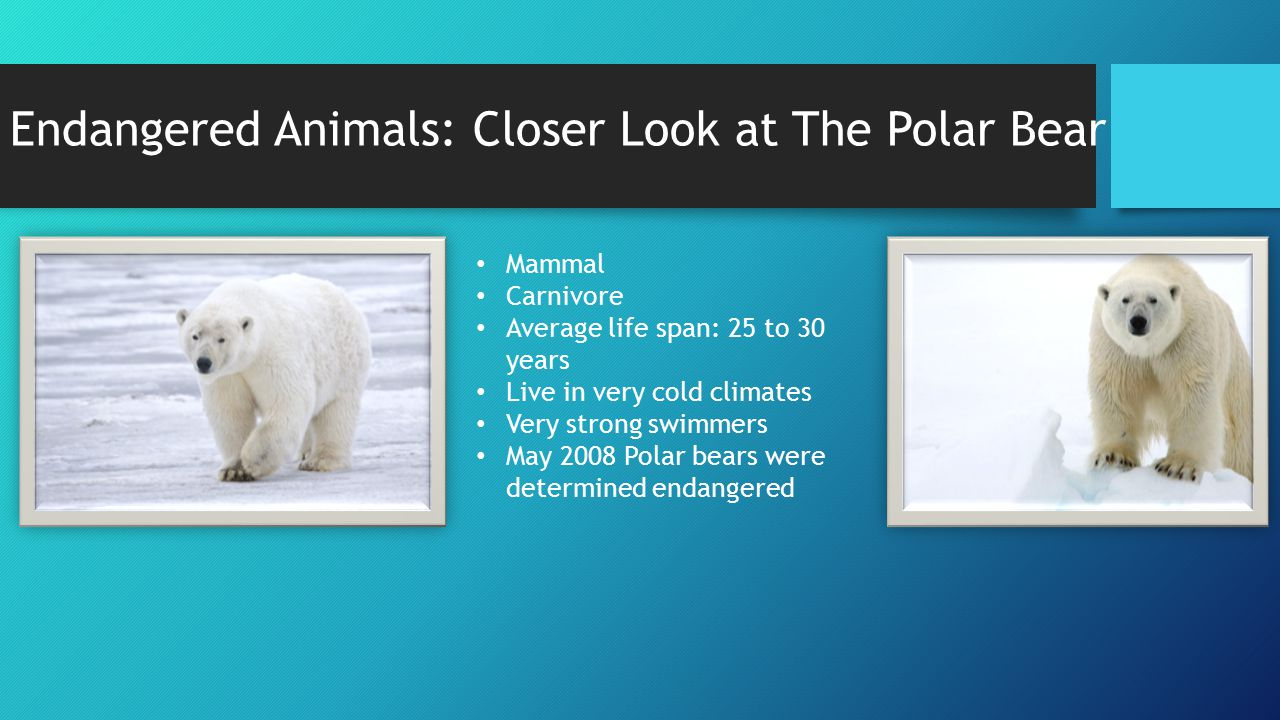 Endangered Animals: Closer Look at The Polar Bear Mammal Carnivore Average life span: 25 to 30 years Live in very cold climates Very strong swimmers May 2008 Polar bears were determined endangered