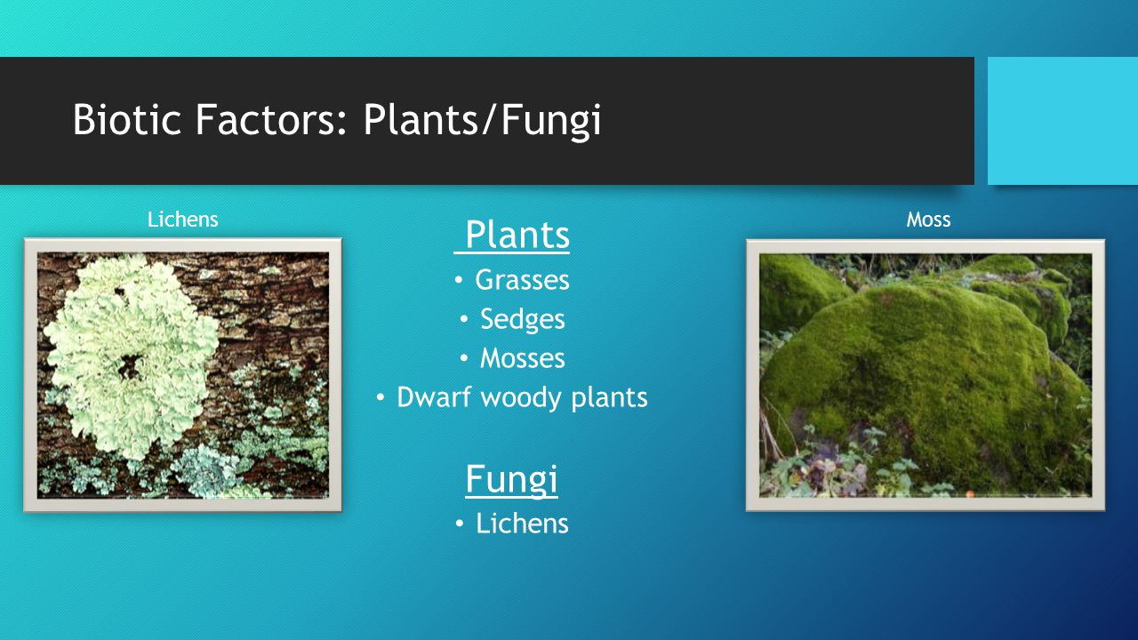 Biotic Factors: Plants/Fungi Plants Grasses Sedges Mosses Dwarf woody plants Fungi Lichens Moss