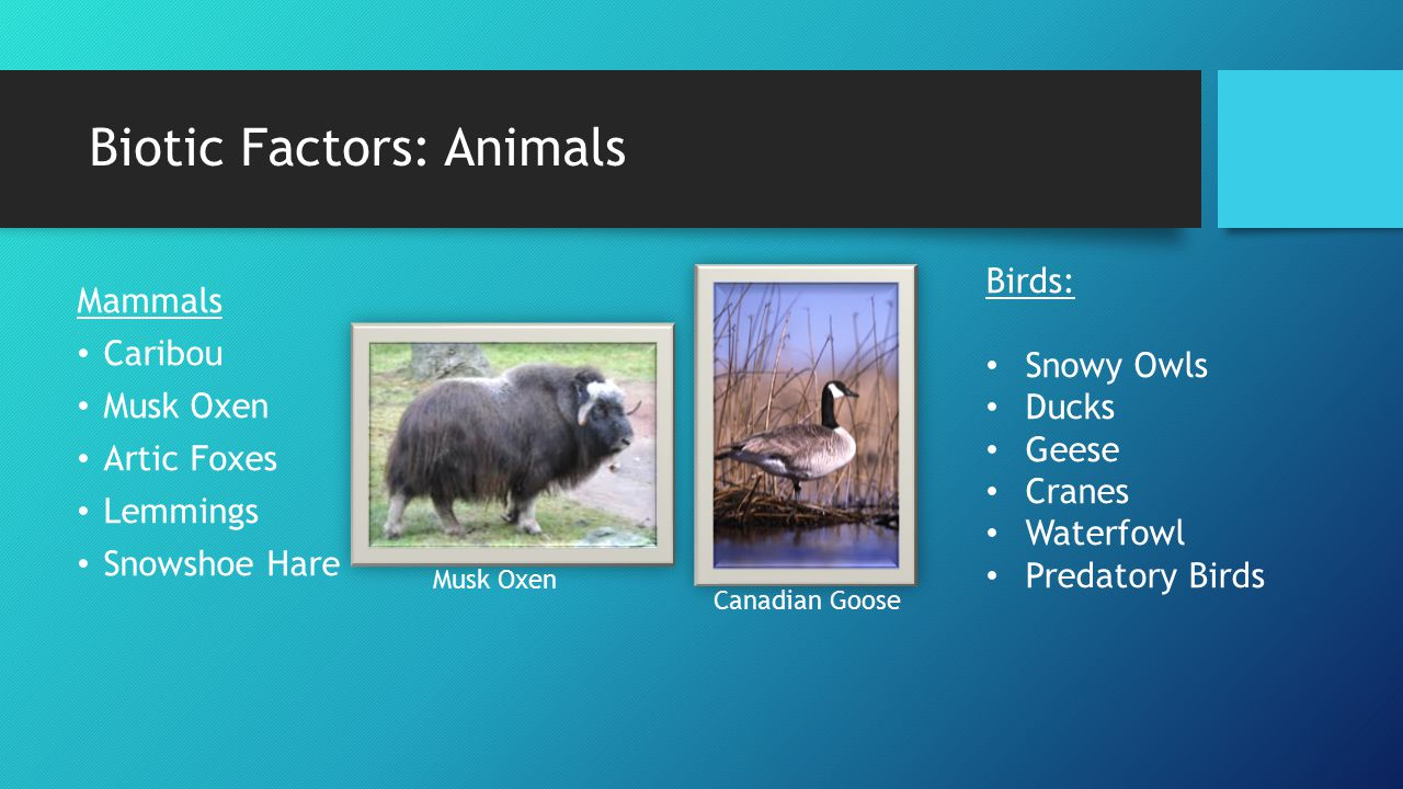 Biotic Factors: Animals Mammals Caribou Musk Oxen Artic Foxes Lemmings Snowshoe Hare Birds: Snowy Owls Ducks Geese Cranes Waterfowl Predatory Birds Musk Oxen Canadian Goose