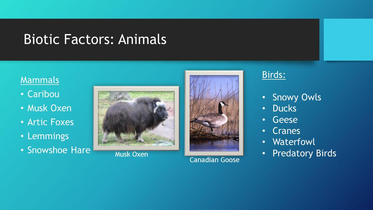 Biotic Factors: Animals Mammals Caribou Musk Oxen Artic Foxes Lemmings Snowshoe Hare Birds: Snowy Owls Ducks Geese Cranes Waterfowl Predatory Birds Mu