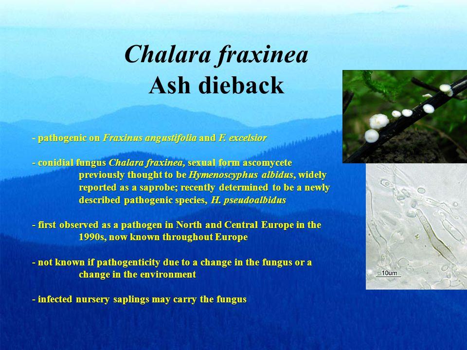 Chalara fraxinea Ash dieback pathogenic on Fraxinus angustifolia and F.