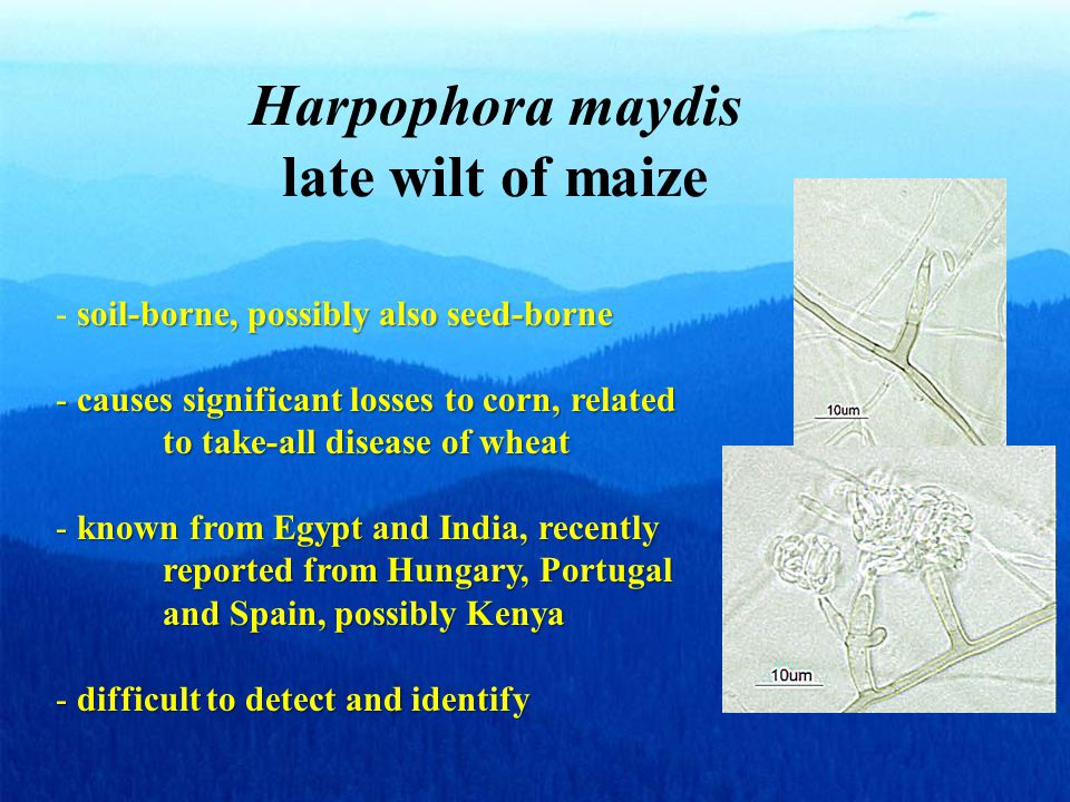 Harpophora maydis late wilt of maize soil-borne, possibly also seed-borne - soil-borne, possibly also seed-borne - causes significant losses to corn, related to take-all disease of wheat - known from Egypt and India, recently reported from Hungary, Portugal and Spain, possibly Kenya - difficult to detect and identify