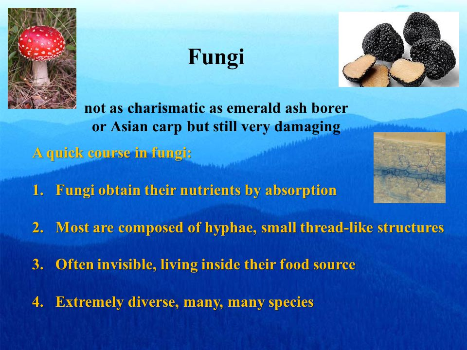 Fungi not as charismatic as emerald ash borer or Asian carp but still very damaging A quick course in fungi: 1.Fungi obtain their nutrients by absorption 2.Most are composed of hyphae, small thread-like structures 3.Often invisible, living inside their food source 4.Extremely diverse, many, many species