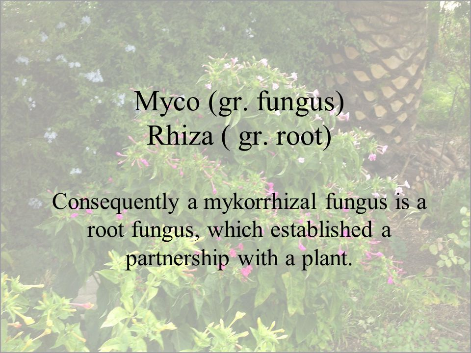 Myco (gr. fungus) Rhiza ( gr. root) Consequently a mykorrhizal fungus is a root fungus, which established a partnership with a plant.