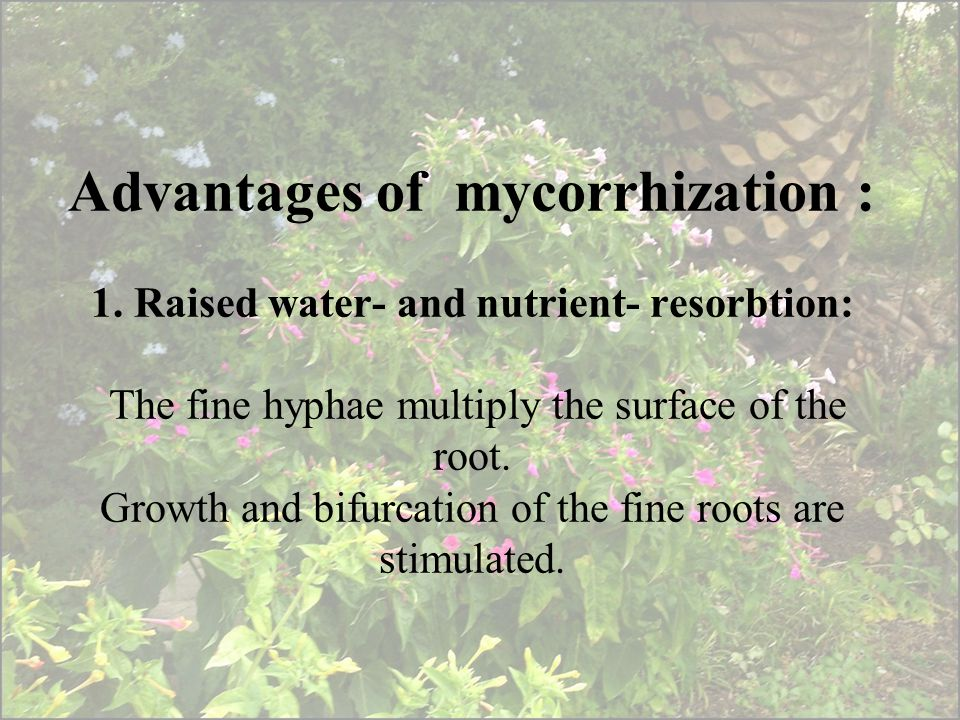 Advantages of mycorrhization : 1. Raised water- and nutrient- resorbtion: The fine hyphae multiply the surface of the root. Growth and bifurcation of
