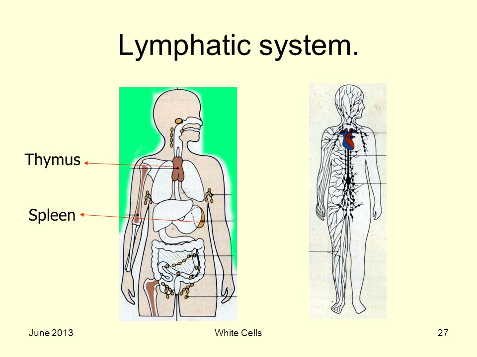 June 2013White Cells27 Lymphatic system. Thymus Spleen