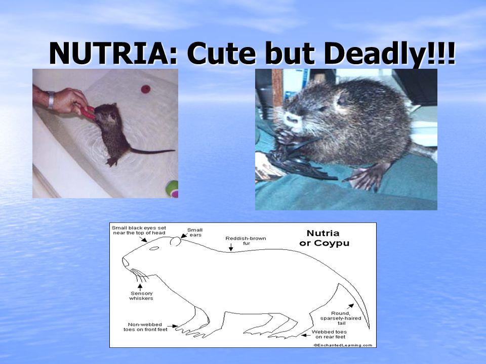 NUTRIA: Cute but Deadly!!! NUTRIA: Cute but Deadly!!!