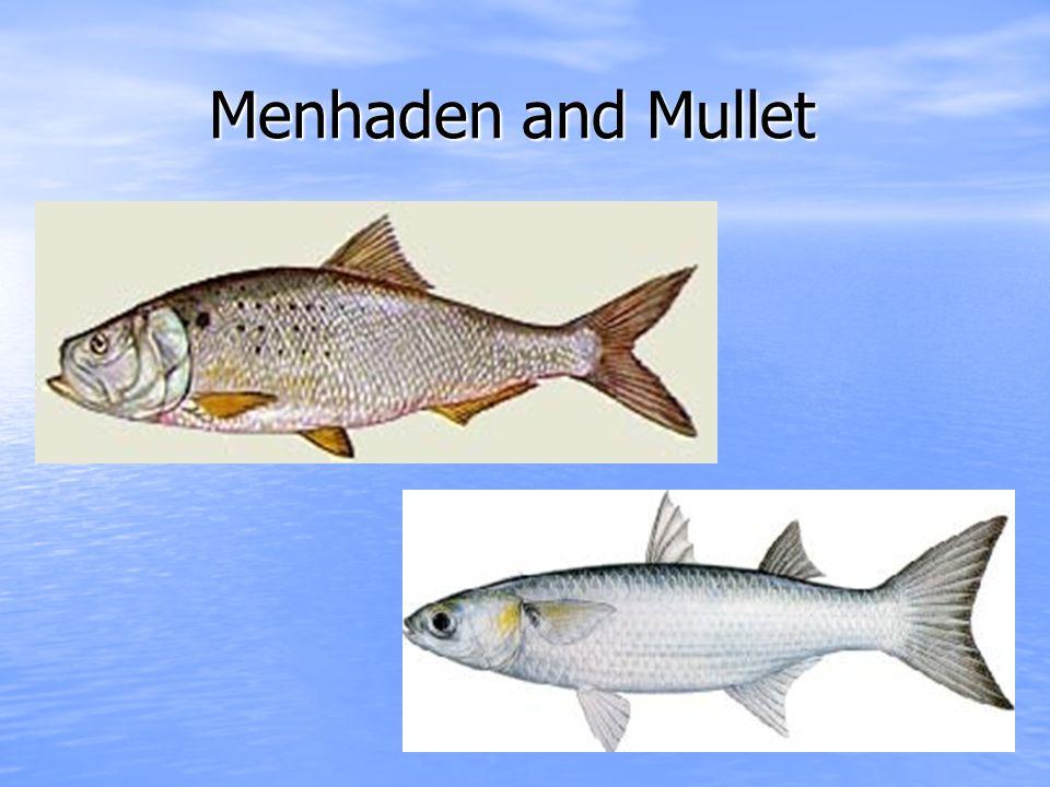 Menhaden and Mullet Menhaden and Mullet