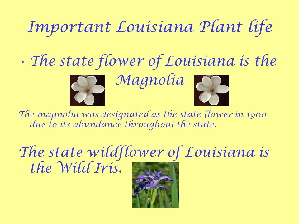 Important Louisiana Plant life The state flower of Louisiana is the Magnolia The magnolia was designated as the state flower in 1900 due to its abundance throughout the state.
