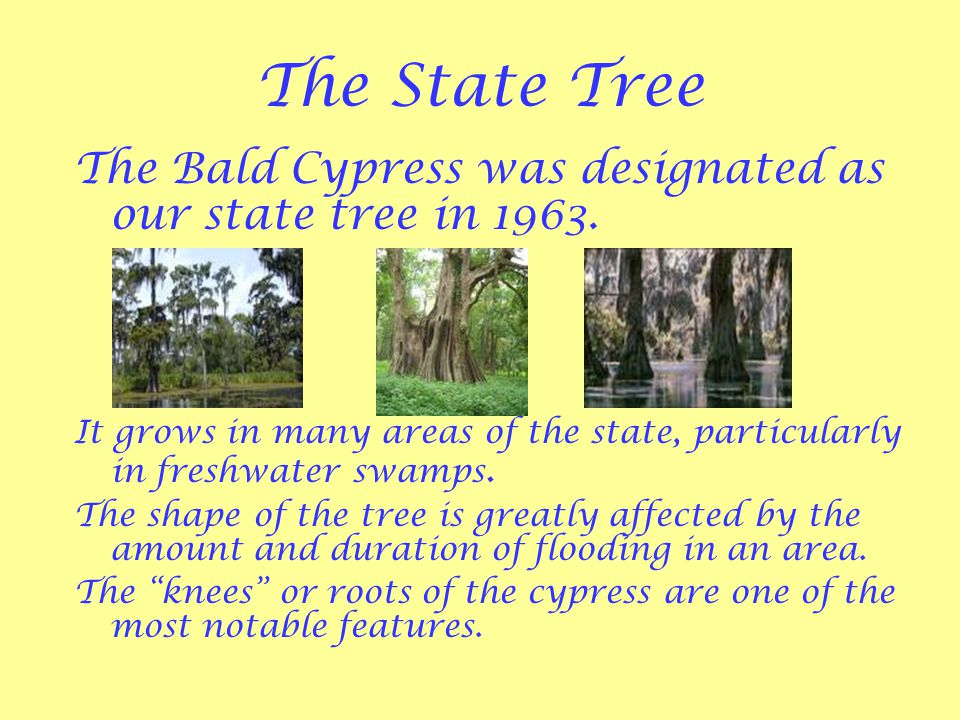 The State Tree The Bald Cypress was designated as our state tree in 1963.