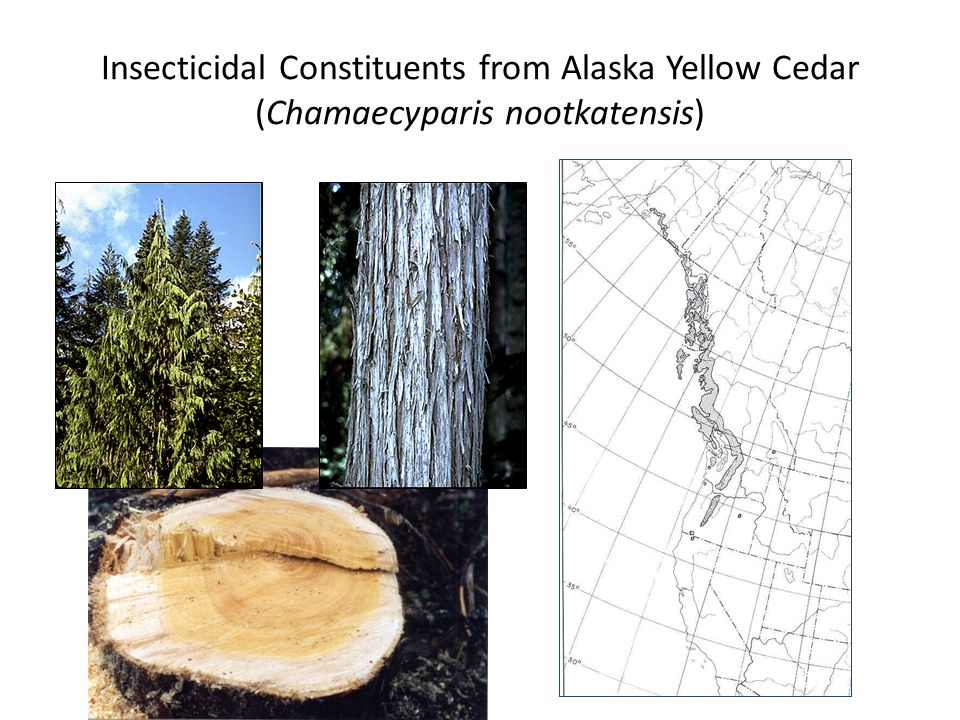 Insecticidal Constituents from Alaska Yellow Cedar (Chamaecyparis nootkatensis)