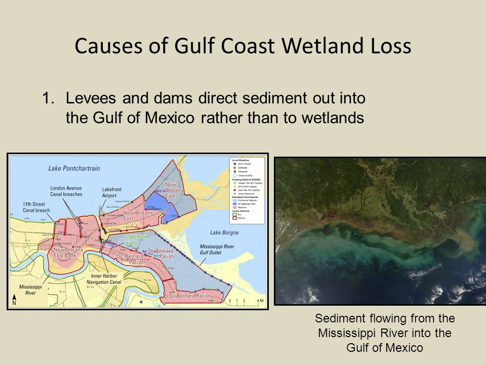 Causes of Gulf Coast Wetland Loss Sediment flowing from the Mississippi River into the Gulf of Mexico 1.Levees and dams direct sediment out into the Gulf of Mexico rather than to wetlands