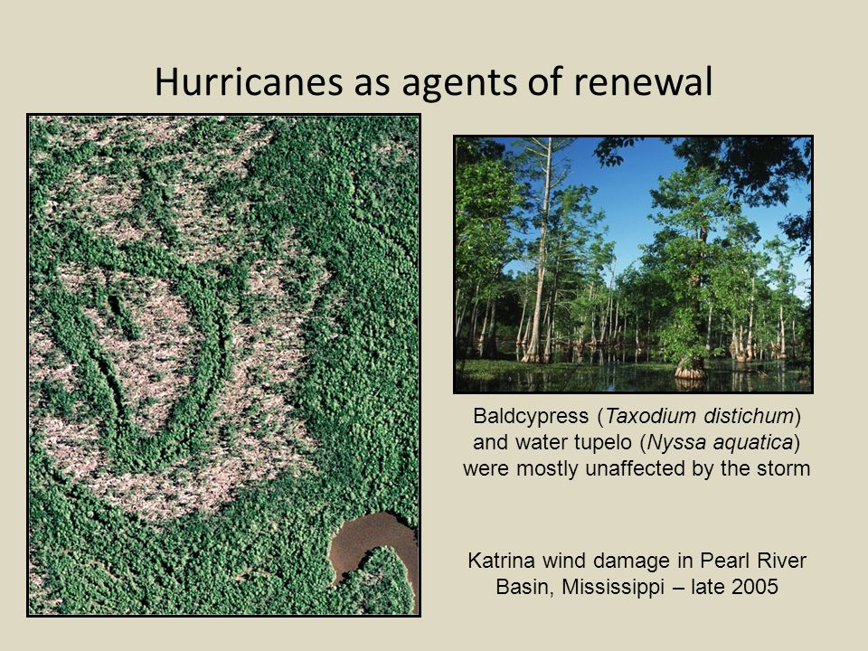 Hurricanes as agents of renewal Katrina wind damage in Pearl River Basin, Mississippi – late 2005 Baldcypress (Taxodium distichum) and water tupelo (Nyssa aquatica) were mostly unaffected by the storm