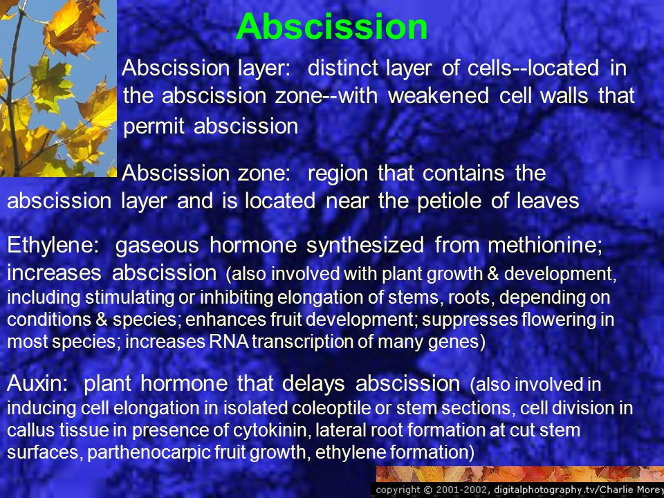 Abscission Abscission layer: distinct layer of cells--located in the abscission zone--with weakened cell walls that permit abscission Abscission zone: