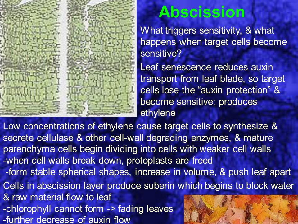 Abscission What triggers sensitivity, & what happens when target cells become sensitive? Leaf senescence reduces auxin transport from leaf blade, so t