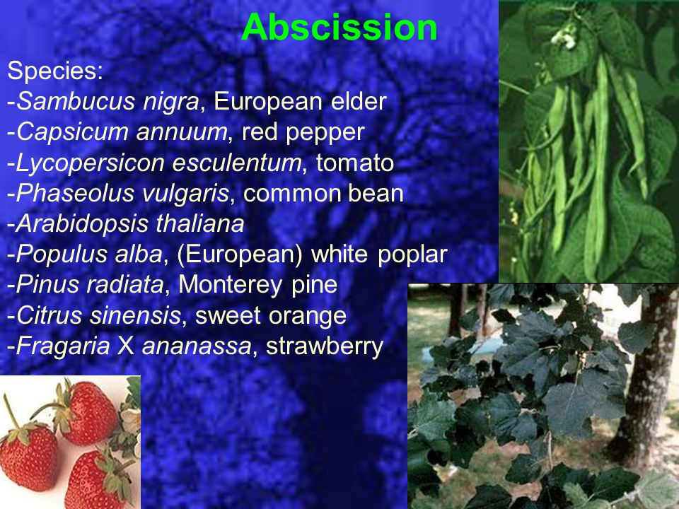 Abscission Species: -Sambucus nigra, European elder -Capsicum annuum, red pepper -Lycopersicon esculentum, tomato -Phaseolus vulgaris, common bean -Arabidopsis thaliana -Populus alba, (European) white poplar -Pinus radiata, Monterey pine -Citrus sinensis, sweet orange -Fragaria X ananassa, strawberry