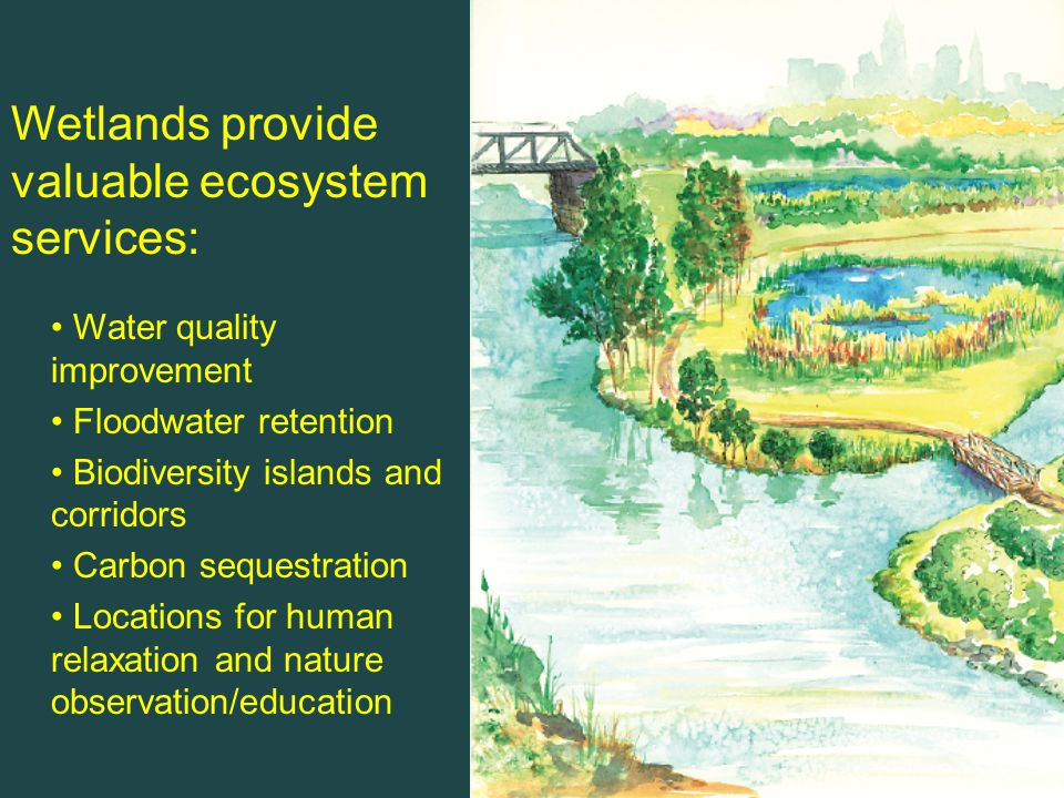 Water quality improvement Floodwater retention Biodiversity islands and corridors Carbon sequestration Locations for human relaxation and nature observation/education Wetlands provide valuable ecosystem services: