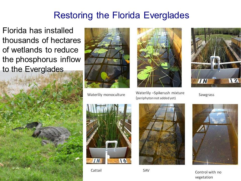 Florida has installed thousands of hectares of wetlands to reduce the phosphorus inflow to the Everglades