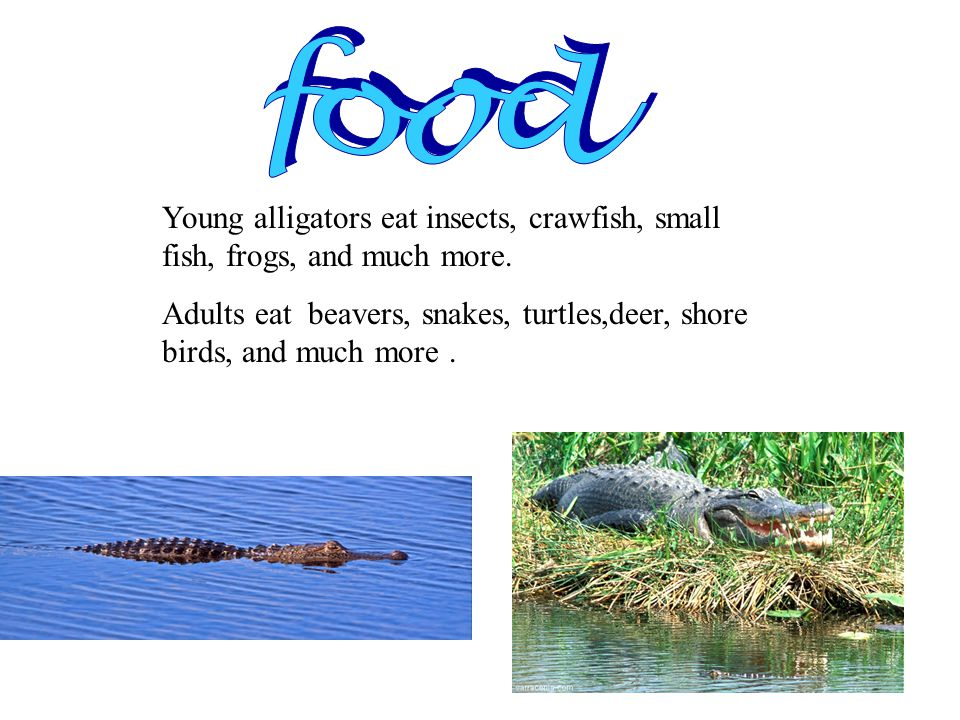 Alligators have 80 teeth Adult males are rare if they are larger than 4.5 m They swallow their food in a flash They rarely bother humans They are common in Florida and Louisiana