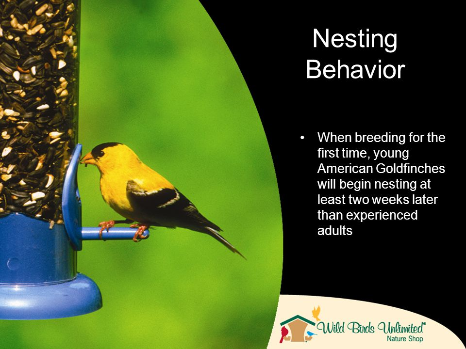 When breeding for the first time, young American Goldfinches will begin nesting at least two weeks later than experienced adults Nesting Behavior