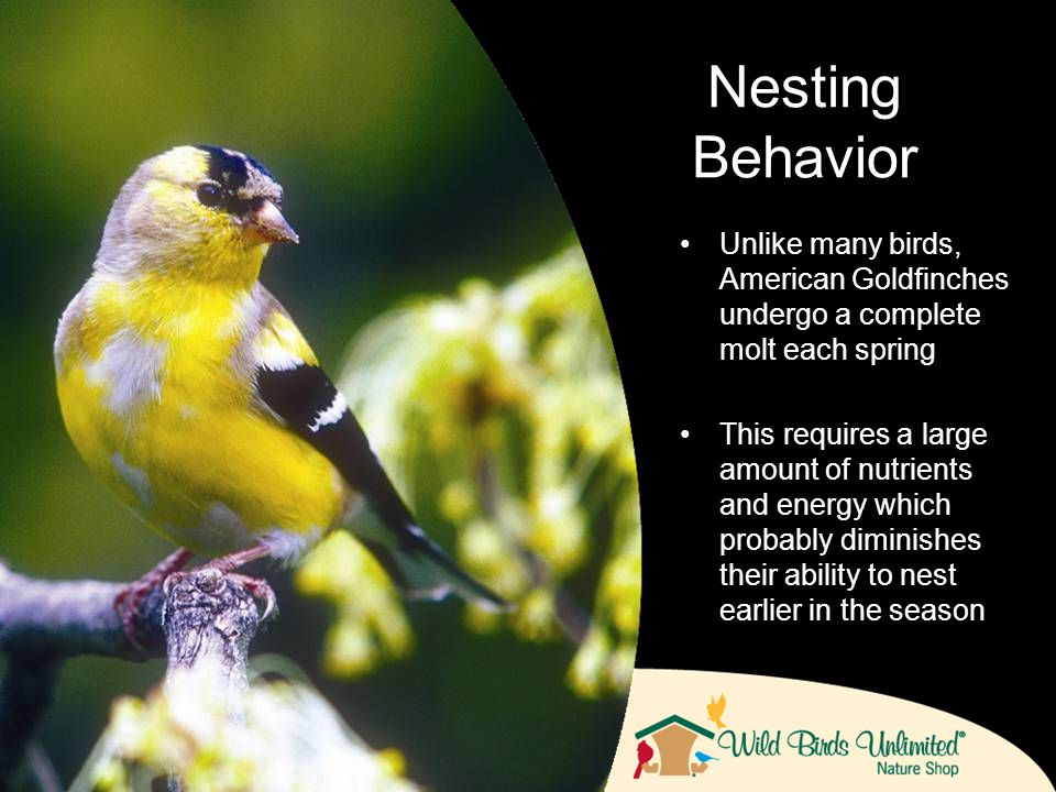 Unlike many birds, American Goldfinches undergo a complete molt each spring This requires a large amount of nutrients and energy which probably diminishes their ability to nest earlier in the season Nesting Behavior