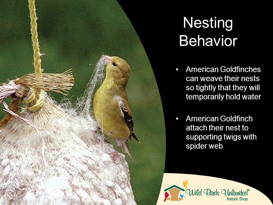 American Goldfinches can weave their nests so tightly that they will temporarily hold water American Goldfinch attach their nest to supporting twigs with spider web Nesting Behavior
