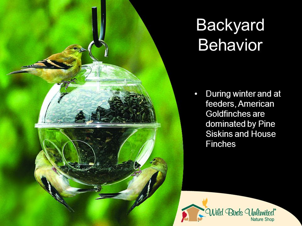 During winter and at feeders, American Goldfinches are dominated by Pine Siskins and House Finches Backyard Behavior