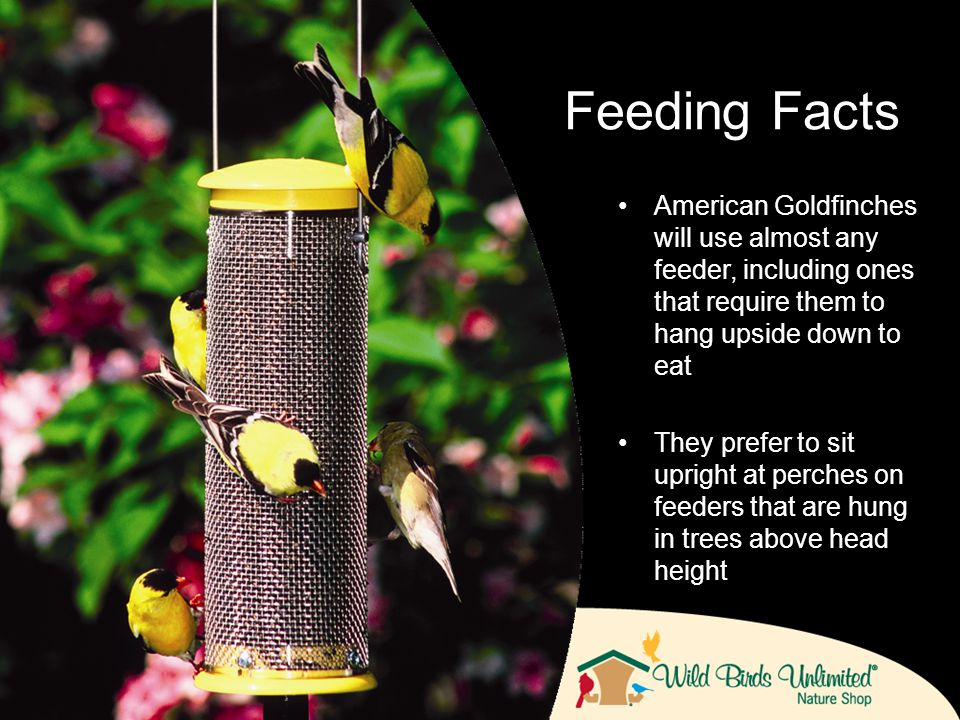 American Goldfinches will use almost any feeder, including ones that require them to hang upside down to eat They prefer to sit upright at perches on feeders that are hung in trees above head height Feeding Facts