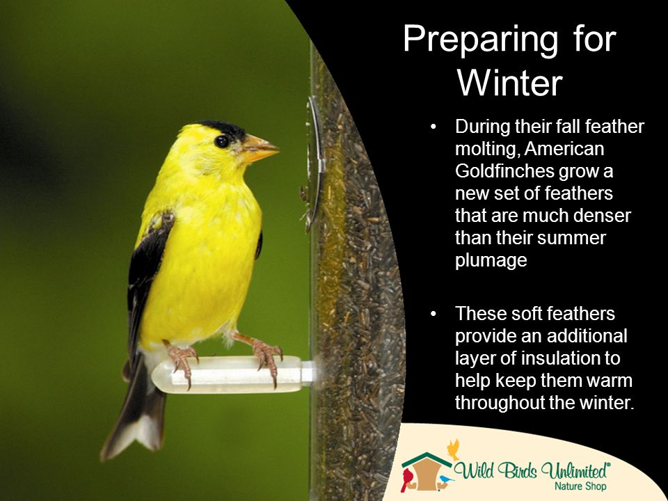 During their fall feather molting, American Goldfinches grow a new set of feathers that are much denser than their summer plumage These soft feathers provide an additional layer of insulation to help keep them warm throughout the winter.
