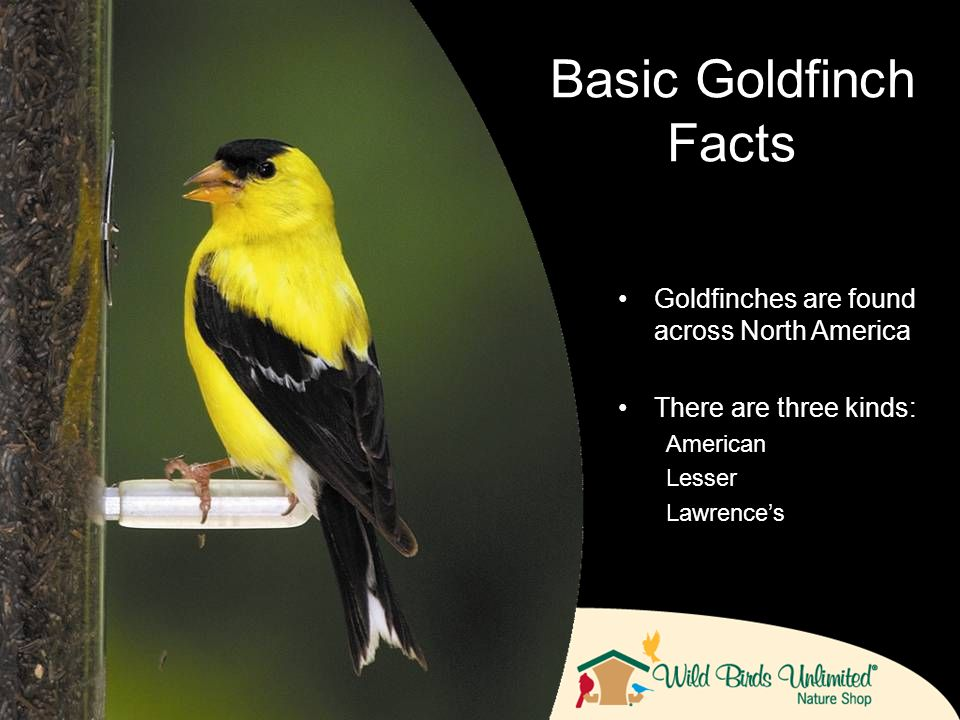 Goldfinches are found across North America There are three kinds: American Lesser Lawrence's Basic Goldfinch Facts