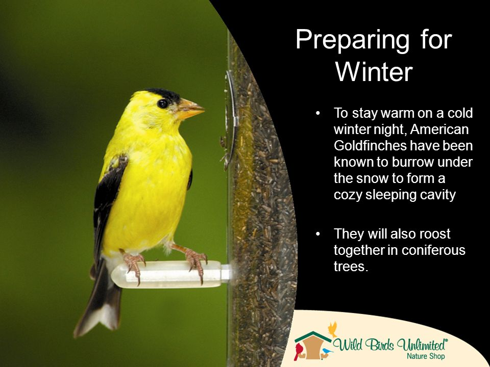 To stay warm on a cold winter night, American Goldfinches have been known to burrow under the snow to form a cozy sleeping cavity They will also roost together in coniferous trees.