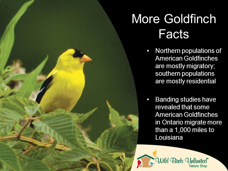 Northern populations of American Goldfinches are mostly migratory; southern populations are mostly residential Banding studies have revealed that some American Goldfinches in Ontario migrate more than a 1,000 miles to Louisiana More Goldfinch Facts