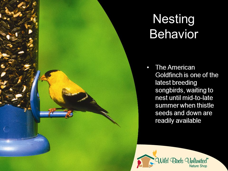 The American Goldfinch is one of the latest breeding songbirds, waiting to nest until mid-to-late summer when thistle seeds and down are readily available Nesting Behavior