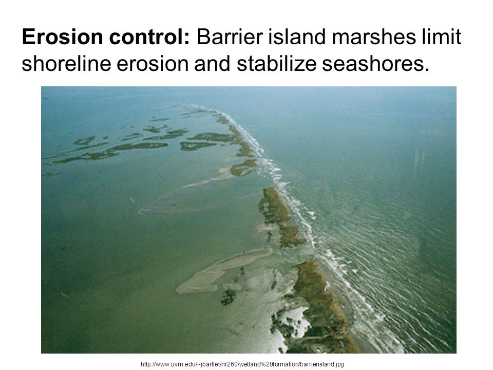 Erosion control: Barrier island marshes limit shoreline erosion and stabilize seashores.