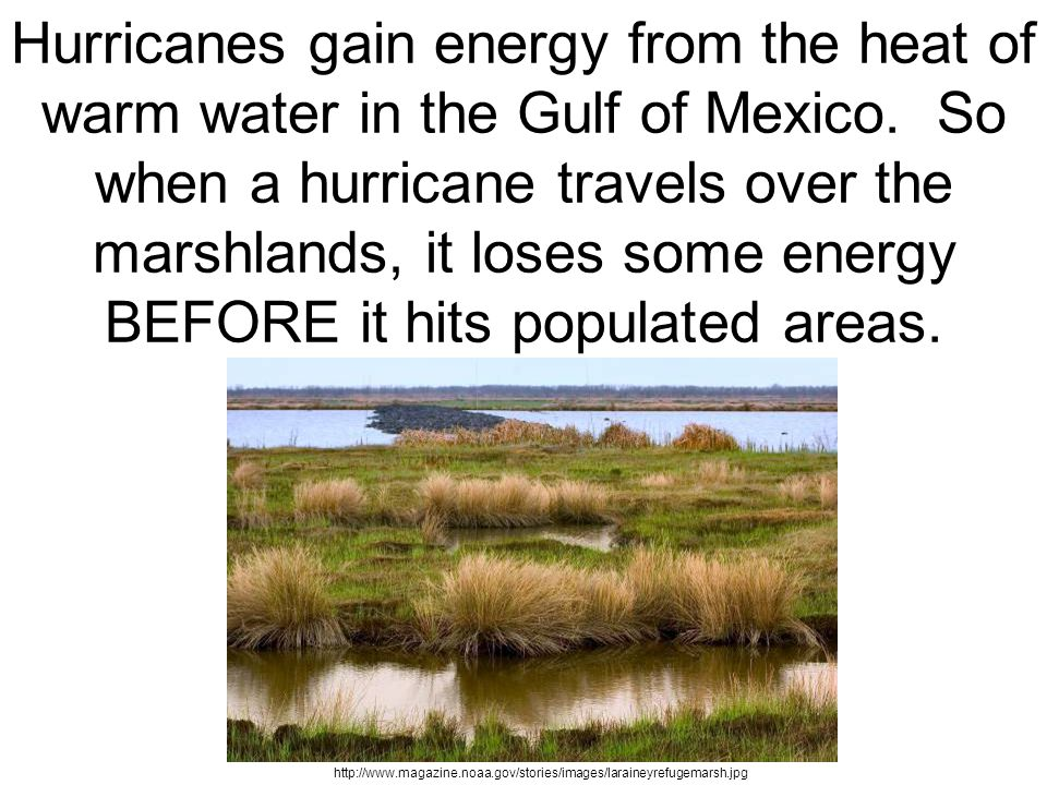 Hurricanes gain energy from the heat of warm water in the Gulf of Mexico. So when a hurricane travels over the marshlands, it loses some energy BEFORE