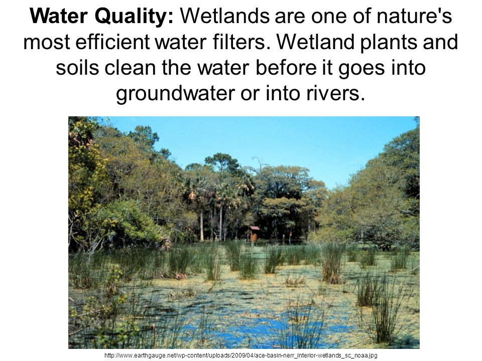 Water Quality: Wetlands are one of nature's most efficient water filters. Wetland plants and soils clean the water before it goes into groundwater or